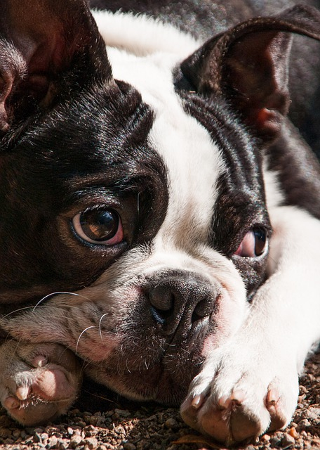 things to know about Boston Terriers